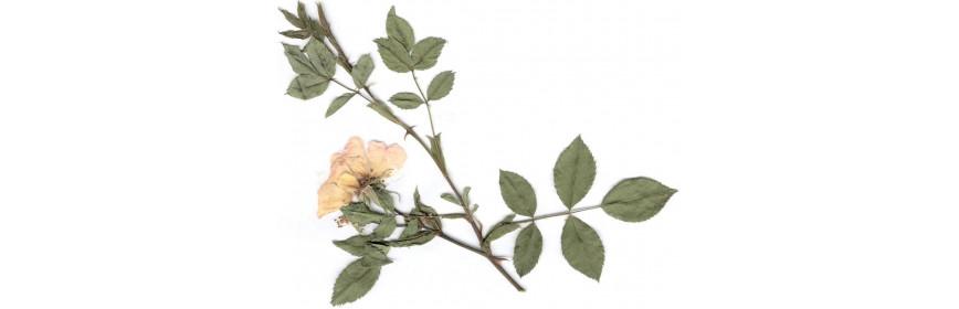 HE Bois de Rose