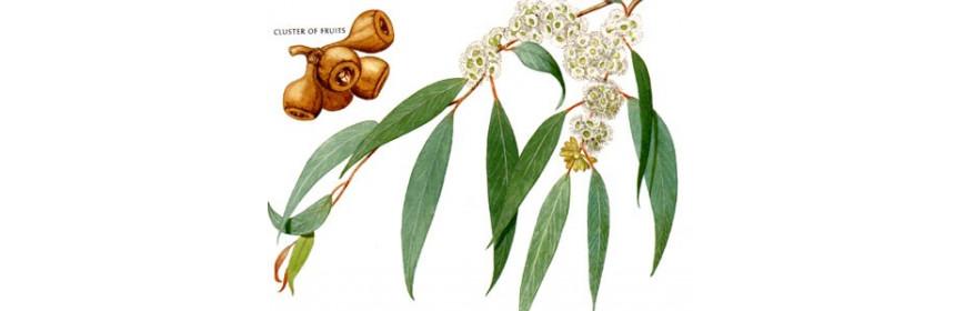 HE Eucalyptus