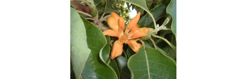 HE Magnolia